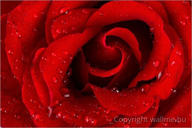 Rózsa fotó