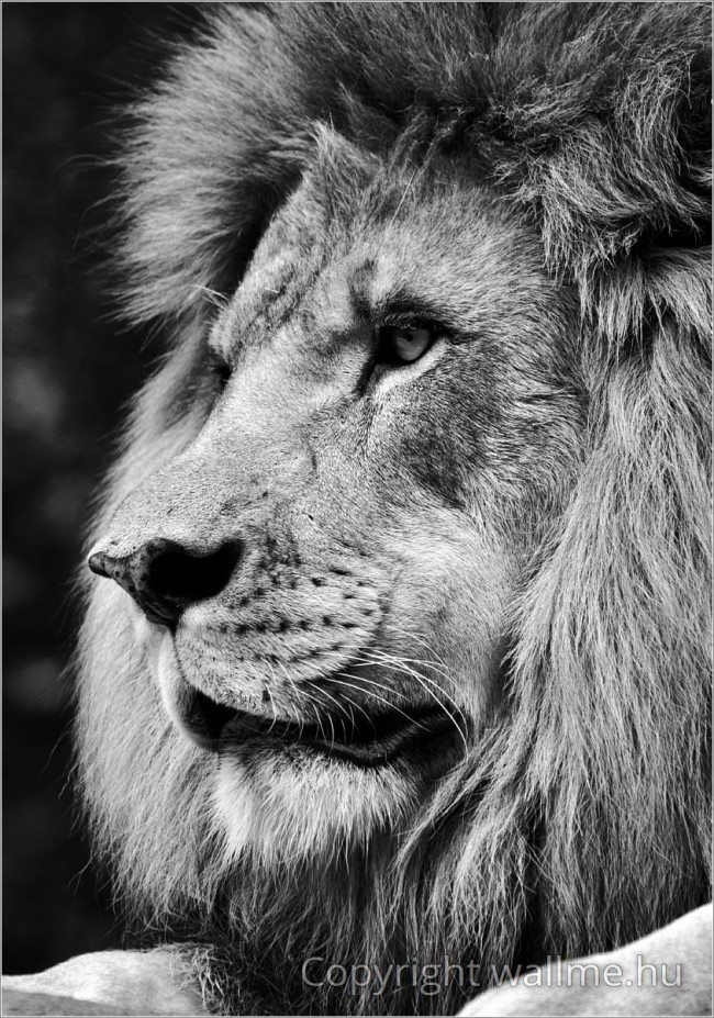 Drámai és lenyűgöző oroszlán-portré.