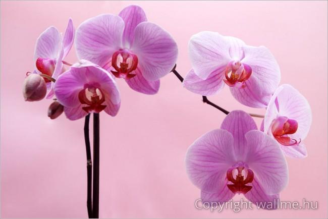 Bíbor orchidea