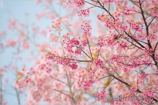Virágzó cseresznyefa fotó
