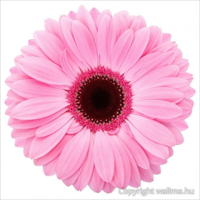 Gerbera virág fotó