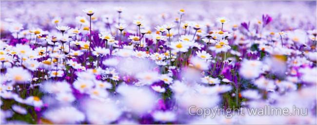 Kontrasztos lila és fehér színű százszorszép réti fotó