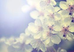 cseresznyefa-ag