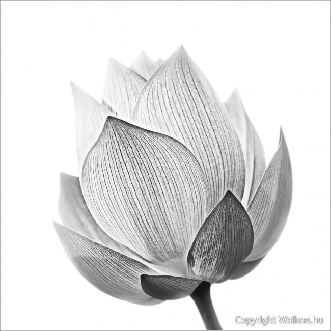 Lótusz virág fotó