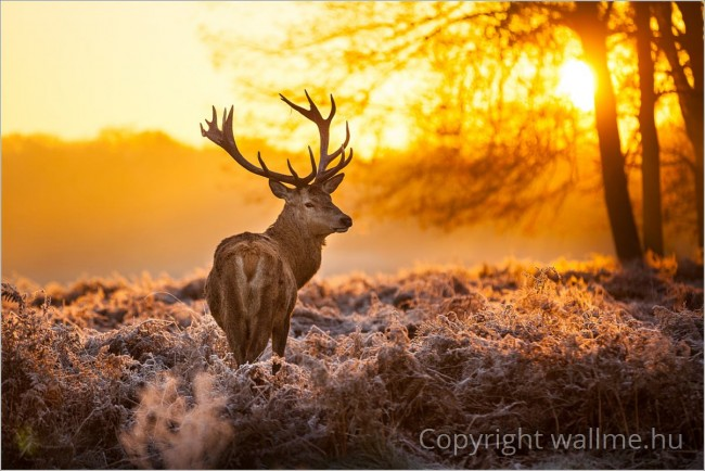 Szarvasbika reggeli fényben