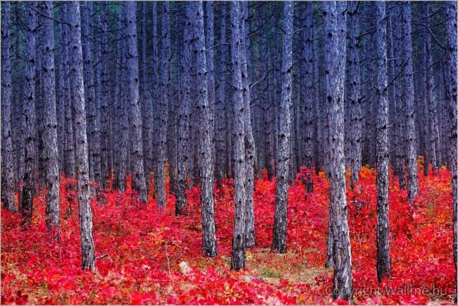Vörös avar erdő fotó