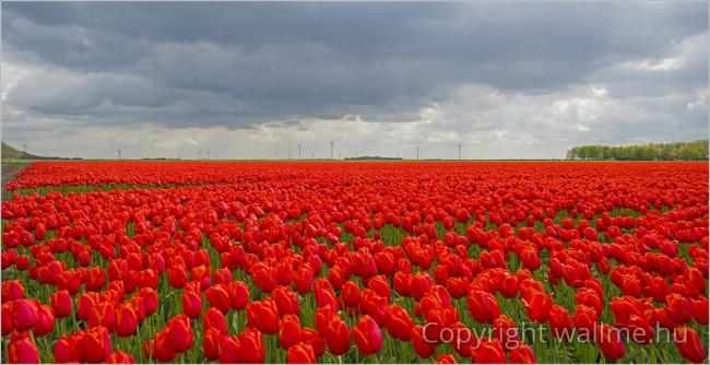 Kontrasztos piros tulipánföld panoráma fotó