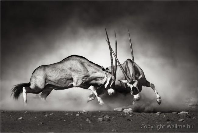 Nyársas antilop harc
