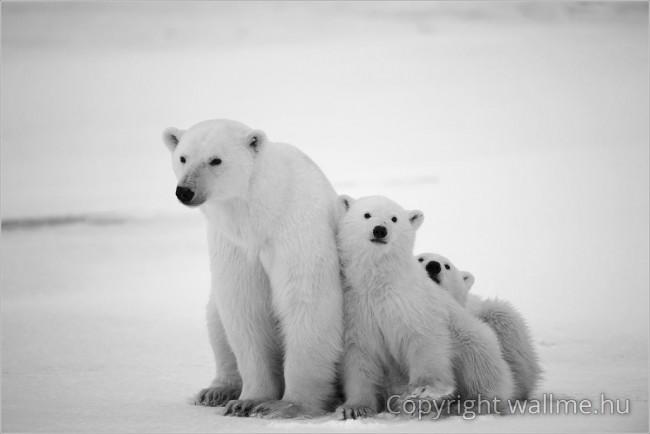 Fehér nőstény medve kölykeivel