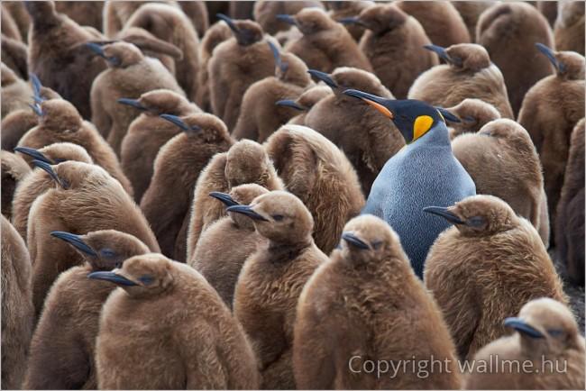 Királypingvin család