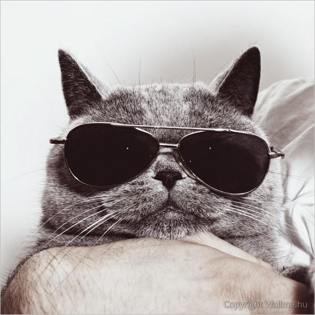 Laza macska portré